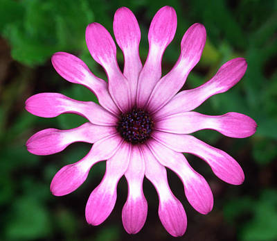 Striking Photograph - Osteospermum 'whiligig' Abstract by Nigel Downer