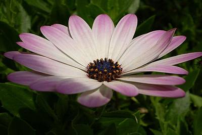 Photograph - Osteospermum Whiter Shade Of Pale by Tracey Harrington-Simpson