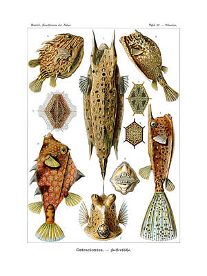 Art In Nature Drawing - Ostraciontes by Ernst Haeckel