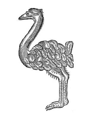 Ostrich, 16th Century Art Print by Granger