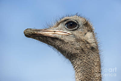 Photograph - Ostrich 2 by Arterra Picture Library