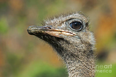 Photograph - Ostrich 4 by Arterra Picture Library