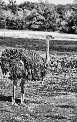 Ostrich Photograph - Ostrich-black And White by Douglas Barnard