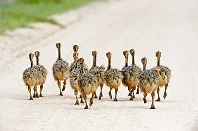 Ostrich Photograph - Ostrich Chicks by Science Photo Library