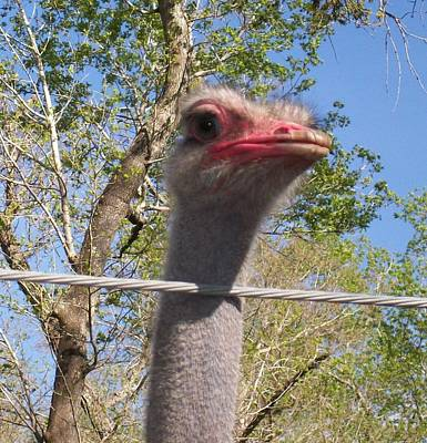 Photograph - Ostrich Male Close Up by Belinda Lee