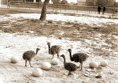 Ostrich Drawing - Ostrich Farm, Hot Springs, Ark, Ostriches by Litz Collection