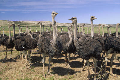 Ostrich Photograph - Ostrich Females South Africa by Gerry Ellis