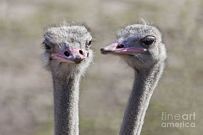 Talking Heads Photograph - Ostrich Gossip by Brandon Alms