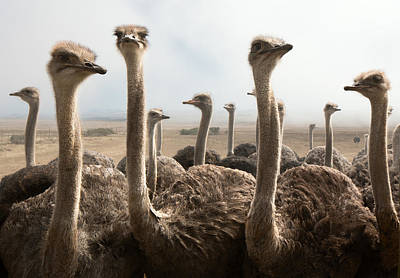 Group Photograph - Ostrich Heads by Johan Swanepoel