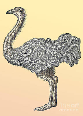 Ostrich Photograph - Ostrich, Historiae Animalium, 16th by Science Source