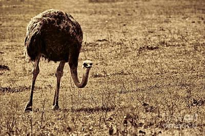 Ostrich Photograph - Ostrich In Sepia by Douglas Barnard