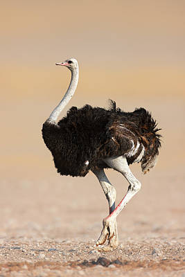 Birds Royalty-Free and Rights-Managed Images - Ostrich by Johan Swanepoel