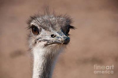Ostrich Photograph - Ostrich by Mark Newman