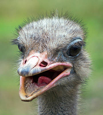 Photograph - Ostrich by Nicholas Blackwell