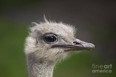 Ostrich Photograph - Ostrich Portrait by Liz Leyden