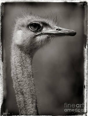 Ostrich Photograph - Ostrich Profile In Black And White by Jill Battaglia