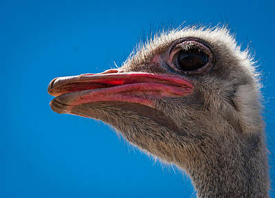 Ostrich Profile Art Print by Jean Noren