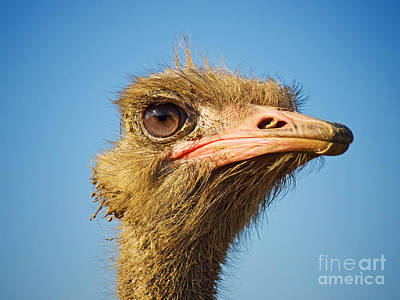 Ostrich Photograph - Ostrich Profile by Sinisa Botas