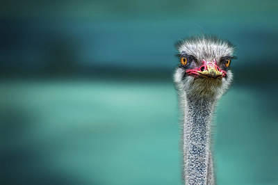 Neck Photograph - Ostrich Protecting Two Poor Chicken From The Wind by Piet Flour