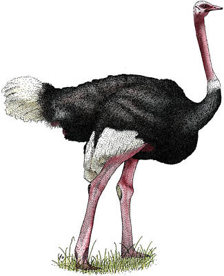 Ostrich Photograph - Ostrich by Roger Hall