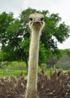 Photograph - Ostrich Says What by Cherie Haines