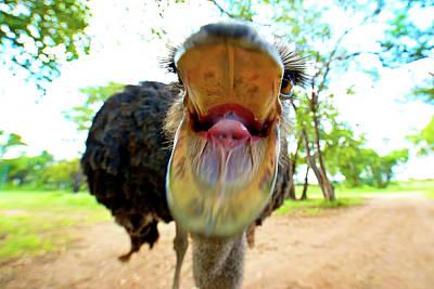 Ostrich Struthio Camelus Australis Print by Shannon Benson