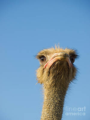 Ostrich Photograph - Ostrich Thoughts by Sinisa Botas