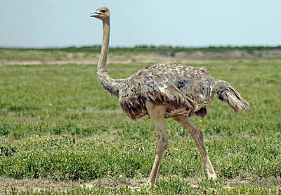 Photograph - Ostrich by Tony Murtagh