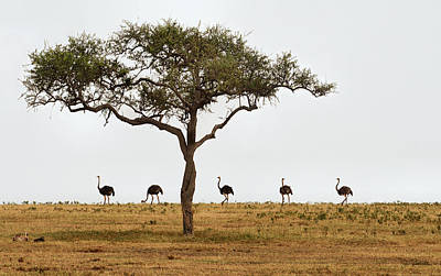 Ostrich Walk Art Print by Joe Bonita