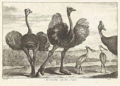 Spoonbill Drawing - Ostriches, Cassowary And Spoonbill, Grard Scotin by G?rard Scotin (i)