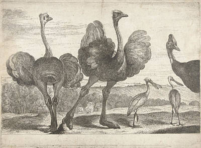 Spoonbill Drawing - Ostriches, Cassowary And Spoonbill, Peeter Boel by Peeter Boel
