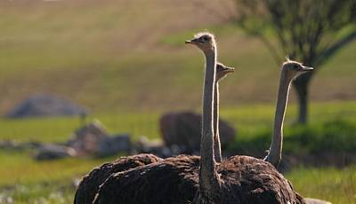Ostriches Print by Dan Sproul