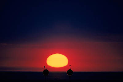 Ostrich Photograph - Ostriches In Sunset by Robert Caputo