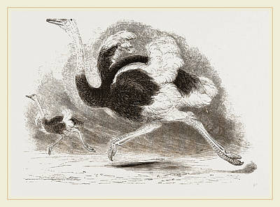 Ostrich Drawing - Ostriches by Litz Collection