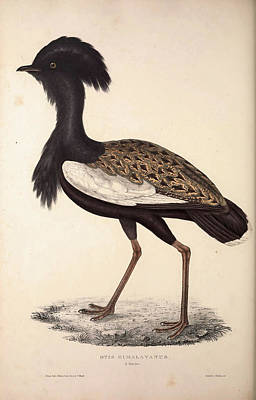 Asian Artist Drawing - Otis Himalayanus Or Delicious Bustard, Otis Deliciosa by Quint Lox