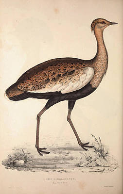 Exotic Drawing - Otis Himalayanus Young Male Or Delicious Bustard by Quint Lox