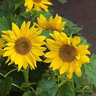 Photograph - Ottawa Sunflowers by Brenda Kean