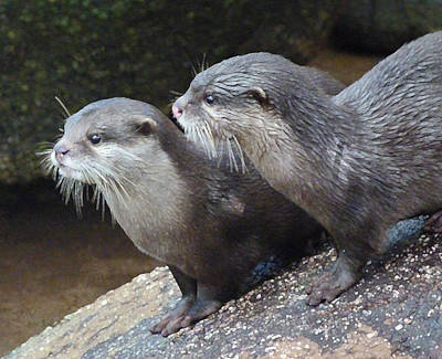 Photograph - Otter Alert by Margaret Saheed