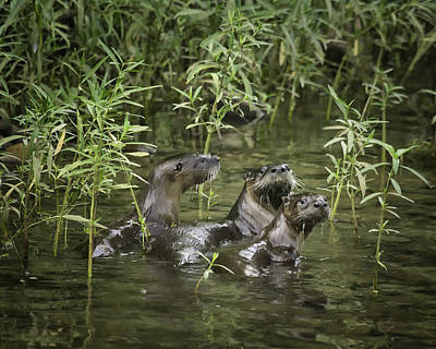 Photograph - Otter At Ponca Access by Michael Dougherty
