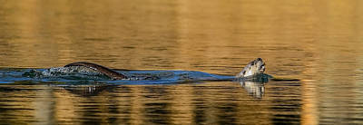 Art Print featuring the photograph Otter Catch by Yeates Photography