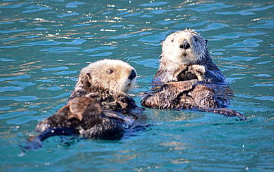 Photograph - Otter Cuteness by AJ  Schibig