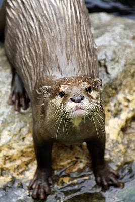 Photograph - Otter by Goyo Ambrosio