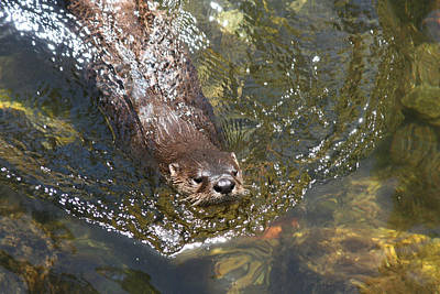 Photograph - Otter In Clear Water by Jean Clark