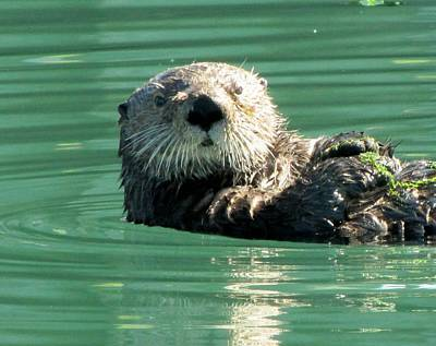 Photograph - otter in Cordova Harbor by Lisa Dunn