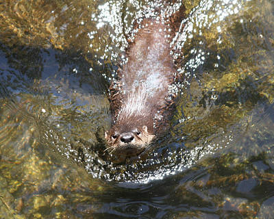 Otter In Florida Art Print