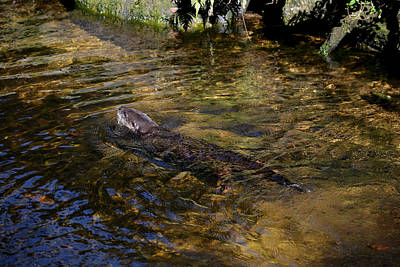 Photograph - Otter In Water by Judy Wanamaker