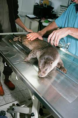 Protection Photograph - Otter (lutra Lutra) Research by Photostock-israel