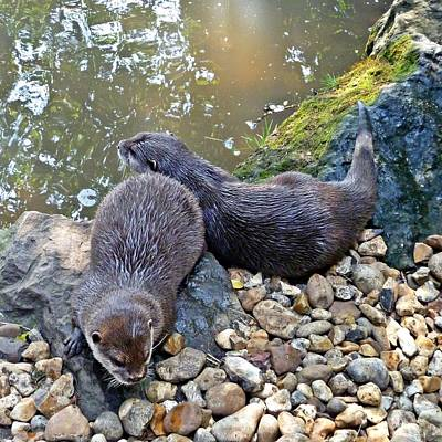 Otter Photograph - Otter Twins by Sharon Lisa Clarke