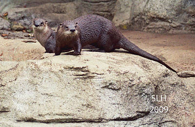 Photograph - Otters by Lee Hartsell