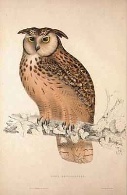 Asian Artist Drawing - Otus Bengalensis, Owls. Birds From The Himalaya Mountains by Quint Lox